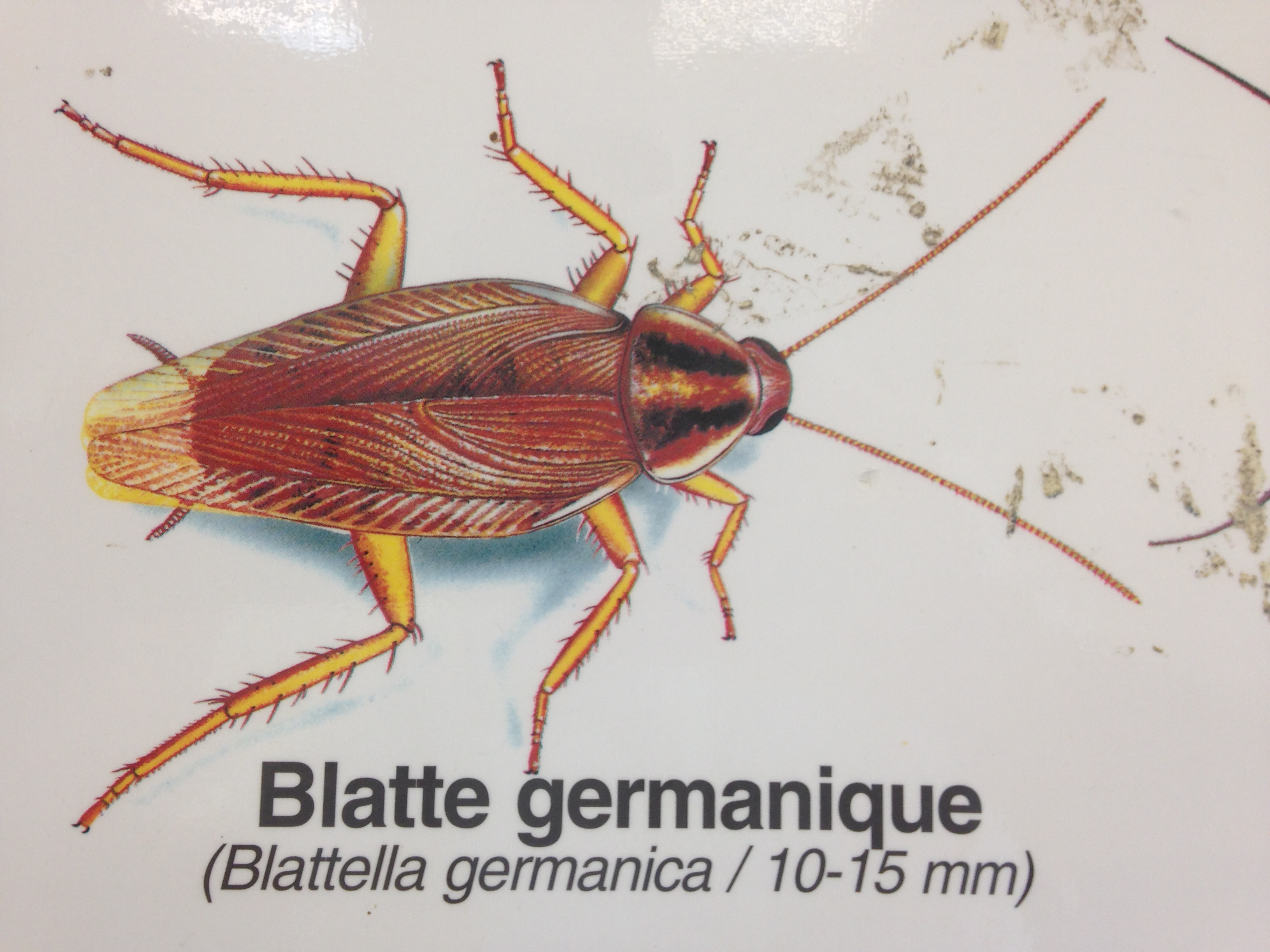 blatte germanique