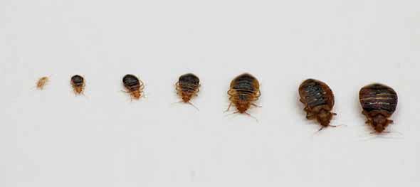 D sinsectisation de blattes et punaises vichy et moulins allier 03 - Punaise de lit transmission ...
